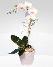 1 dallı orkide saksı çiçeği  Rize cicek , cicekci