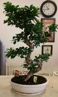 100 cm yüksekliğinde dev bonsai japon ağacı  Rize uluslararası çiçek gönderme
