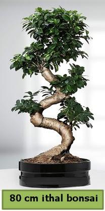 80 cm özel saksıda bonsai bitkisi  Rize çiçek online çiçek siparişi
