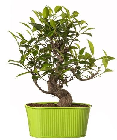 Ficus S gövdeli muhteşem bonsai  Rize online çiçekçi , çiçek siparişi