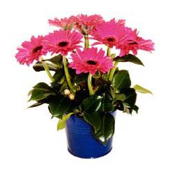 vazo içerisinde gerbera çiçekleri   Rize çiçek gönderme