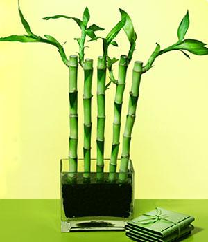 Rize hediye çiçek yolla  Good Harmony Lucky Bamboo camda