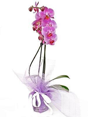 Rize hediye çiçek yolla  Kaliteli ithal saksida orkide