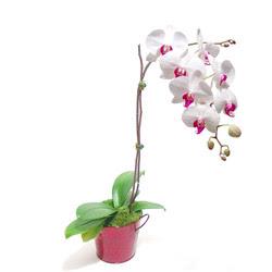 Rize hediye sevgilime hediye çiçek  Saksida orkide