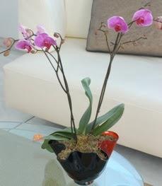 Rize yurtiçi ve yurtdışı çiçek siparişi  tek dal ikili orkide saksi çiçegi