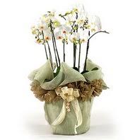 Rize online çiçekçi , çiçek siparişi  3 dal orkide , saksi çiçegi , 3 kök orkide