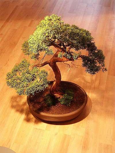 ithal bonsai saksi çiçegi  Rize çiçekçiler