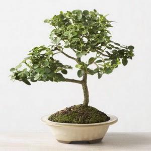 ithal bonsai saksi çiçegi  Rize çiçek siparişi sitesi