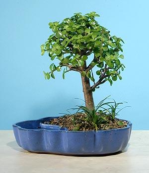 ithal bonsai saksi çiçegi  Rize İnternetten çiçek siparişi