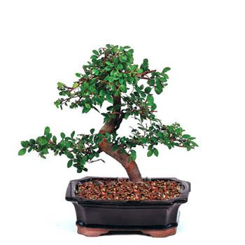 ithal bonsai saksi çiçegi  Rize çiçek yolla