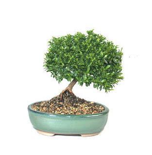 ithal bonsai saksi çiçegi  Rize çiçek satışı