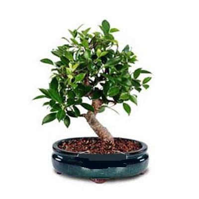ithal bonsai saksi çiçegi  Rize online çiçekçi , çiçek siparişi
