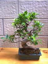 ithal bonsai saksi çiçegi  Rize çiçekçi mağazası