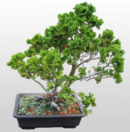 ithal bonsai saksi çiçegi  Rize uluslararası çiçek gönderme