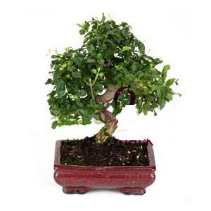 ithal bonsai saksi çiçegi  Rize hediye çiçek yolla
