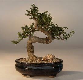 ithal bonsai saksi çiçegi  Rize ucuz çiçek gönder