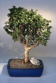 Rize hediye sevgilime hediye çiçek  ithal bonsai saksi çiçegi  Rize İnternetten çiçek siparişi