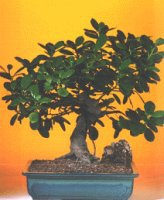 Rize çiçek online çiçek siparişi  ithal bonsai saksi çiçegi  Rize çiçek gönderme sitemiz güvenlidir