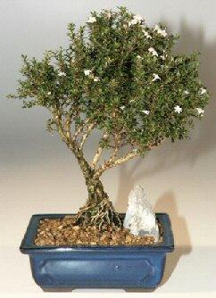 Rize çiçek mağazası , çiçekçi adresleri  ithal bonsai saksi çiçegi  Rize çiçek gönderme