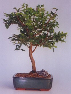 Rize kaliteli taze ve ucuz çiçekler  ithal bonsai saksi çiçegi  Rize hediye çiçek yolla