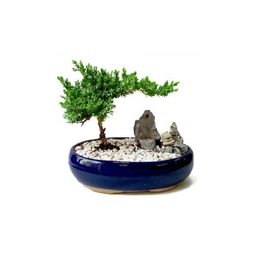 ithal bonsai saksi çiçegi  Rize hediye sevgilime hediye çiçek