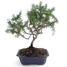 ithal bonsai saksi çiçegi  Rize çiçek online çiçek siparişi