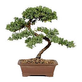 ithal bonsai saksi çiçegi  Rize 14 şubat sevgililer günü çiçek