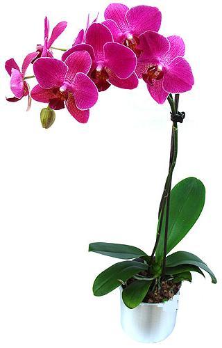 Rize yurtiçi ve yurtdışı çiçek siparişi  saksi orkide çiçegi