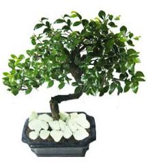 9 yasinda Bonsai agaci  Rize online çiçek gönderme sipariş