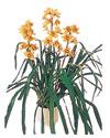 Rize İnternetten çiçek siparişi  Orchiede ithal büyük boy saksi