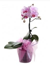 1 dal pembe orkide saksı çiçeği  Rize internetten çiçek siparişi