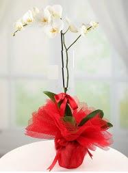 1 dal beyaz orkide saksı çiçeği  Rize online çiçek gönderme sipariş