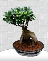 saksı çiçeği japon ağacı bonsai  Rize internetten çiçek siparişi