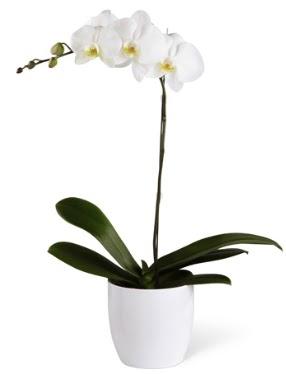 1 dallı beyaz orkide  Rize ucuz çiçek gönder