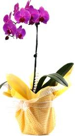 Rize online çiçekçi , çiçek siparişi  Tek dal mor orkide saksı çiçeği