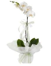 1 dal beyaz orkide çiçeği  Rize çiçek yolla