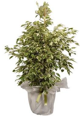 Orta boy alaca benjamin bitkisi  Rize çiçek yolla , çiçek gönder , çiçekçi