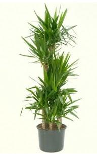 7 li yucca saksı bitkisi  Rize internetten çiçek satışı