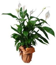 Orta boy barış çiçeği limon çiçeği  Rize çiçek gönderme sitemiz güvenlidir