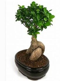Bonsai saksı bitkisi japon ağacı  Rize online çiçekçi , çiçek siparişi