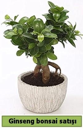 Ginseng bonsai japon ağacı satışı  Rize çiçek online çiçek siparişi