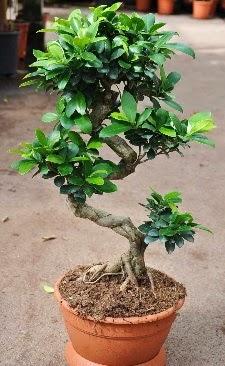 Orta boy bonsai saksı bitkisi  Rize çiçek gönderme sitemiz güvenlidir