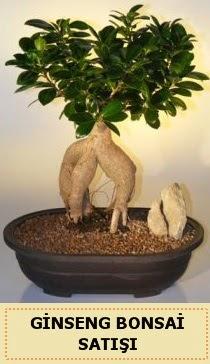 İthal Ginseng bonsai satışı japon ağacı  Rize online çiçekçi , çiçek siparişi