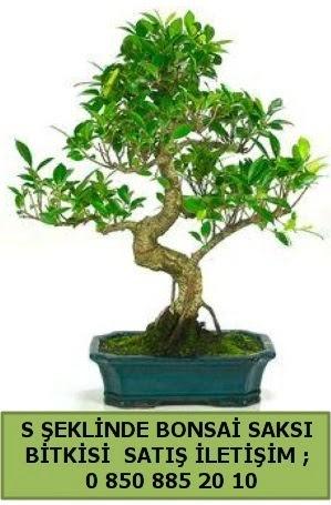 İthal S şeklinde dal eğriliği bonsai satışı  Rize hediye sevgilime hediye çiçek
