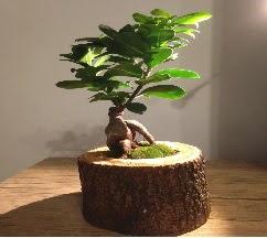 Doğal kütükte Bonsai japon ağacı satışı  Rize çiçek yolla , çiçek gönder , çiçekçi