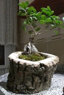 Ahşap kütük içerisinde ginseng bonsai  Rize çiçek gönderme sitemiz güvenlidir