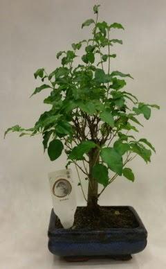 Minyatür bonsai japon ağacı satışı  Rize çiçek online çiçek siparişi