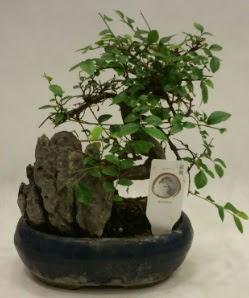 İthal 1.ci kalite bonsai japon ağacı  Rize çiçek servisi , çiçekçi adresleri