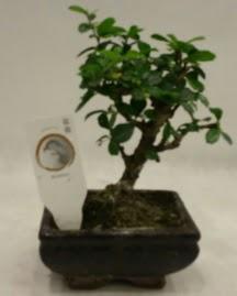 Küçük minyatür bonsai japon ağacı  Rize hediye sevgilime hediye çiçek