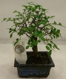 Minyatür ithal japon ağacı bonsai bitkisi  Rize çiçek servisi , çiçekçi adresleri